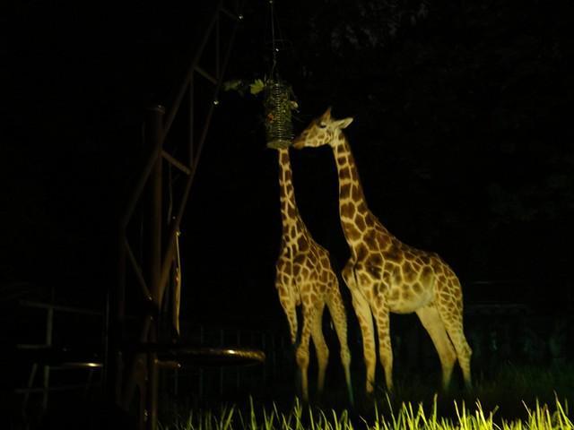 ちょうどキリンの餌の時間に遭遇。|名古屋市東山動植物園
