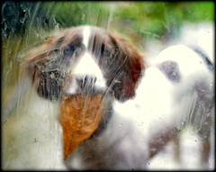 Sorry (Simon Corble) Tags: dog sorry puppy leaf blurry district derbyshire peak canine messy spaniel springer springerspaniel pup dili glassdoor smudged messedup smeared monyash springerpuppy ibringyoualeaf imessedupyourdoor