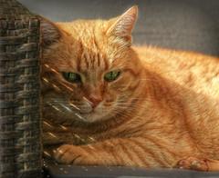 Strulli (sillitilly) Tags: red orange animal cat ginger feline kitty gato strulli