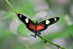 Oct2014_Rainforest-1855.jpg (KDsPictures) Tags: nature butterfly rainforest butterflies dorislongwing calacademyofsciences october2014