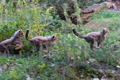 Soon to be fastest... (NicholasShore *I IGNORE CONTACT-COLLECTORS*) Tags: vienna wien baby oktober animal zoo sony 4th visit cheetah tamron tiergarten usd a77 gepard 2014 70300 tiergartenschnbrunn f456 babycheetah alpha77 201410 4thvisit tamron70300f456usd tamron70300f456ssm okt2014 oktober2014