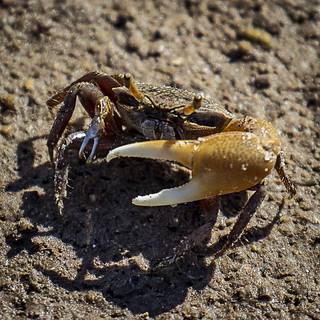 Little crab with a BIG claw (Explored)