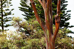 Mindanao Tree (Rainbow tree) (KelliCampbell) Tags: real oahu created notphotoshopped rainbowtree amazingtree hawaiitrees artistgod mindanaotree