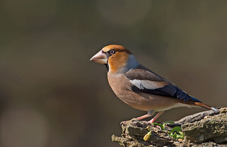 Hawfinch: Coccothraustes coccotraustes. It. Frosone