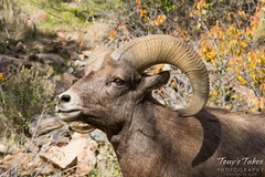 A young bighorn ram poses