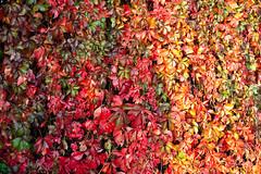 autumn colours (dorinser) Tags: autumn multicolour virginiacreeper parthenocissus parthenocissusquinquefolia fiveleavedivy victoriacreeper