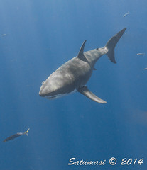 Great White Sharks of Isla Guadalupe-70.jpg (Satumasi) Tags: vacation fall mexico northamerica greatwhiteshark underwaterphotography nikon1aw1 1nikkoraw10mmf28