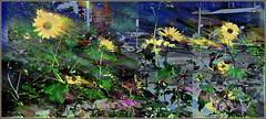Street Sunflowers (Tim Noonan) Tags: park blue autumn urban colour green yellow digital photoshop garden sunflowers blackeyedsusans treatment