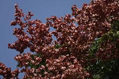 Koelreuteria formosana (ddsnet) Tags: plant sony cybershot   rx10 koelreuteriaformosana