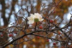 Against the Turning Leaves (Lunken Spotter) Tags: wood flowers autumn trees columbus ohio plants plant tree fall nature leaves branch berries natural suburban branches neighborhood foliage bloom oh suburbs suburb blooms blooming franklincounty leaveschanging centralohio