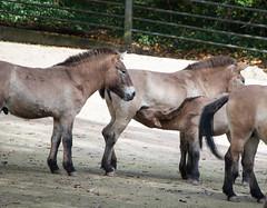 Przewalski-Pferde (subtrahierer) Tags: horse nature zoo tiere wildlife natur donkey tiergarten nrnberg