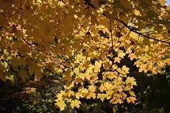 Golden Maple (Roger Daigle) Tags: autumn trees water river nikon waterfalls 610