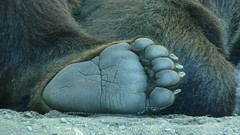 Grizzly bear foot (Rick Yunyk) Tags: animals interestingphotos intersetingphotos minnesota2011