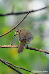 White-browed bulbul ( Pycnonotus luteolus) (Tstudioz) Tags: wildlife bulbul epidemic illusive pycnonotusluteolus browed srilankawildlife srilankabirds amazingsrilanka