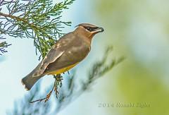 Cedar Waxwing IMG_6983 (ronzigler) Tags: bird nature cedarwaxwing avian songbird