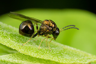Ant Parasite