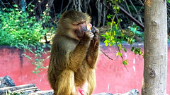 Wild Life : Baboon Looking Sharply on an Object (Jangra Works) Tags: sleeping green zoo monkey dreaming hyderabad baboons