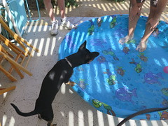 October 27, 2014 (12) (gaymay) Tags: california gay dog love puppy happy desert palmsprings swimmingpool coachellavalley triad ozmo