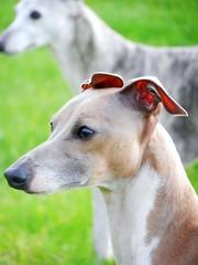 walk 122 (adore62) Tags: walk pug whippet italiangreyhound