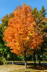 ~ October Colours ~ (Serge Dai) Tags: autumn trees canada fall leaves automne quebec montreal couleurs bluesky arbres naturepark feuilles pierrefonds capstjacques parcnature octobercolours nikkor1802000mmf3556 sergedaigneaultphotography