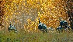 Wild Turkeys and Fall Colors (http://fineartamerica.com/profiles/robert-bales.ht) Tags: southwest birds forest wow spectacular photo superb fallcolors awesome flock scenic peaceful aves pacificnorthwest northamerica sensational migratory turkeys toms inspirational tranquil magnificent haybales wildturkey stupendous meleagrisgallopavo ocellated birdphotography blackish gobblers uath galliformes redthroat canonshooter fanshapedtail southwestphotography redwattles americanphotograph reddishhead robertbales northamericanphotography darkbrownbird goldiridescence drummingsound