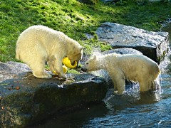 Nela & Nobby (hockeycatmuc) Tags: mnchen zoo tiere polarbear tierpark nobby eisbr hellabrunn tierbilder nela tierparkhellabrunn eisbren nelanobby