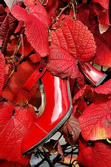 51/100_Red Stiletto_Fallen for Red (red stilletto) Tags: autumn red leaves leaf highheel highheels vine autumnleaves heels heel redshoe redshoes redleaves autumnleaf thegreatoceanroad redstilettos redstiletto thegreatoceanroadvictoria 100xthe2014edition 100x2014 image51100