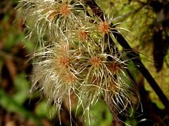 Virgin's Bower (vischerferry) Tags: macro vine pinkflower newyorkstate virginsbower saratogacounty vischerferry sonydschx300