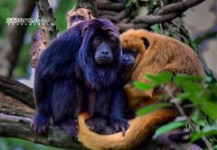 Bonding Time (Samuel.Dai) Tags: tourism nature animal zoo nikon singapore bokeh wildlife animalplanet touristattraction primates d800 blackhowlermonkey 150600mm samueldai