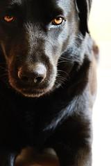 My Love (fototuljan) Tags: pet pets black cute eye eyes lab labrador blackdog sweat labs blacklabrador elza labradorretriver
