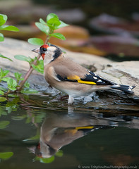 Goldfinch in pond (tobyhoulton) Tags: uk reflection bird nature water garden one pond nikon wildlife goldfinch reflected solo d300
