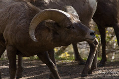 A bighorn ram lowers its head