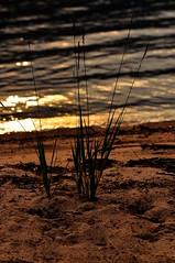 Starws in sunset (Terje Hheim (thaheim)) Tags: sunset nikon straws d90 nikond90 85mmf35gmicrovr