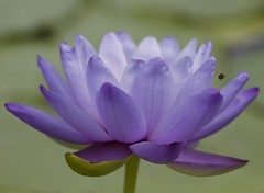Water lily & bee (billcoo) Tags: flower insect purple bokeh explore