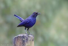 Blue Whistling Thrush (Myophonus caeruleus)  @ , Taiwan_20131222_0004 (LawrenceNeo) Tags: explore bluewhistlingthrush