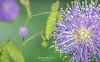 A Sensitive Flower - Mimosa Pudica (MattiaMc) Tags: flowers plant flower nikon touch 1855mm mimosa fiore viola pianta 18mm timida mimosapudica sensitiva tocco nikond60 sensibile infiorescenza