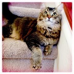 Zoester (K e v i n) Tags: arizona cat zoey kitty az gato hipstamatic inas1935film wattslens