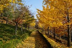 Gyeongbuk arboretum (@cleansea) Tags: autumn fall leaves arboretum falling fallen pohang gyeongbuk