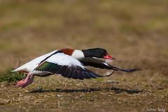 Volpoca.... (Silvio Sola) Tags: volpoca uccello bird anatra anatidi duck volo flight