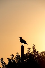 Sunrise moment (NathalieSt) Tags: bird europe fz1000 france hérault lagrandemotte languedocroussillon lumix lumixfz1000 panasonic goeland leverdesoleil oiseau orange seagull silhouette sunrise languedocroussillonmidipyrén languedocroussillonmidipyrénées fr
