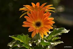 1-DSC_4201 orange in the sun (profmarilena) Tags: gerbera orange orangegerbera closeup
