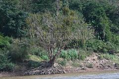 30100305 (wolfgangkaehler) Tags: 2017 asia asian southeastasia laos laotian luangprabang centrallaos mekongriver mekong river riverbank tree exposure exposed roots unstable