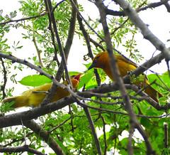 Masked Weaver (Ploceus ocularis) female feeding chick ... (berniedup) Tags: lowersabie kruger maskedweaver ploceusocularis weaver taxonomy:binomial=ploceusocularis