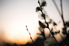 Coming of spring (Ir3nicus) Tags: nikond750 dslr fullframe outdoor 50mm afs50mm14g prime spring closeup macro nature sun bokeh backlight weidenkätzchen willowcatkin plant contrast sonne deutschland germany niederrhein
