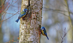 Eurasian blue tit / Birds on the tree / Sinitiaiset #5 (L.Lahtinen (nature photography)) Tags: birds eurasianbluetit animals spring finland nature birdlife wildlife nikond3200 nikkor55300mm sinitiainen sinitiaiset luonto linnut kevät songbird laululintu fauna birdsonthetree suomi bokeh pretty dof cuties blue color forestbirds birdwatching birding twobirdsonthetree 100lintulajia naturephotography nikkor