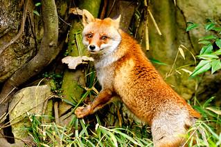Male Japanese Red Fox, Koushiro of  Yokohama Zoological Gardens : ホンドギツネのコウシロウ(よこはま動物園ズーラシア)