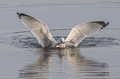 Gull with a Fish (Jan Crites) Tags: iowa leclaire nature river mississippiriver lockanddam14 gull reflection fishing jancritesphotography february