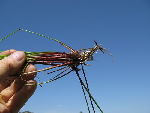 cyperaceae isolepis inundata swamp clubrush clubsedge taxonomy:binomial=isolepisinundata
