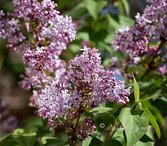 April 2, 2017 - Lilacs in bloom. (Michelle Jones)