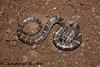 Lycodon travancoricus (Chaitanya Shukla) Tags: colubridae lycodontravancoricus macro maharashtra mulshi mulshi201207 pune reptilesandamphibiansofindia snakesofindia travancorewolfsnake typicalsnakes india